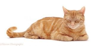 Displaying ginger cat cat.jpg