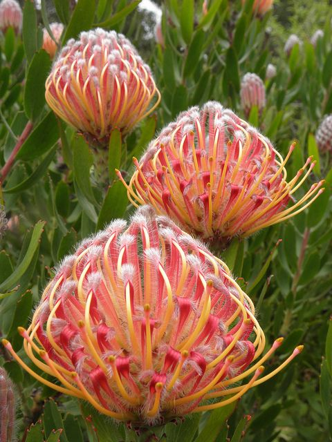 Pincushion Protea (Leucospermum) 'Scarlet Ribbon' grows in our garden. www.theblinkwater.com