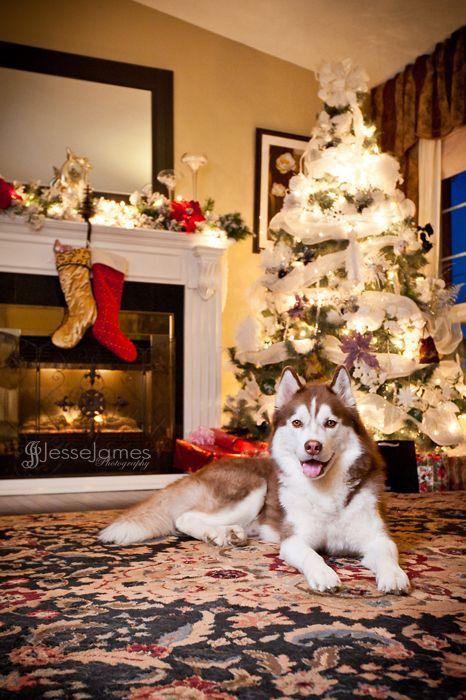 """Siberian Husky Christmas!"" by Jesse James Photography"