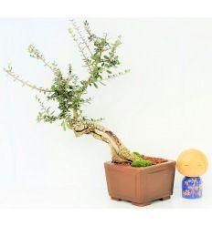 Bonsái Olivo Silvestre - Acebuche (Olea sylvestris)