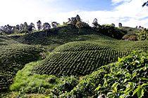 Colombia - Plantaciones de café en el Eje cafetero.