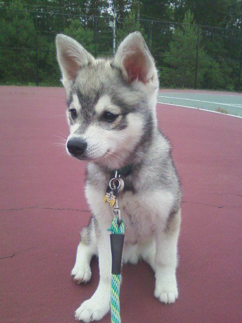miniature husky Cutest Animals Ever ‏@CUTEST_ANlMALS