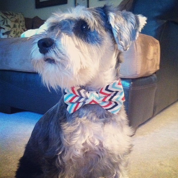 tara says this is barkley he is a 10 month old mini schnauzer who loves his bully sticks. Black Bedroom Furniture Sets. Home Design Ideas