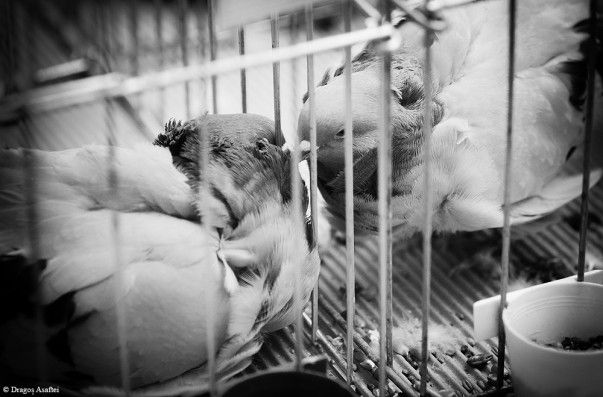 The love between two pigeons and the barriers between them; exactly like human love.