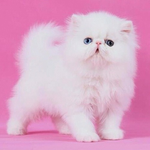 Cute Cats And Kittens Wallpaper Hd Cat Themes 96 Best I Adore Persian Cats Images On Pinterest Cats