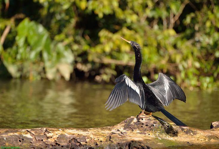 Carlos Arriero posted a photo:  El pato aguja americano, también conocido como pájaro serpiente americano, pájaro cuello de serpiente, marbella americana, huizote o acoyotl, es una especie de ave suliforme de la familia Anhingidae propia de las regiones tropicales de América (Wikipedia).