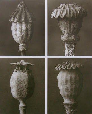 """Art Forms in Nature"" (1928) by Karl Blossfeldt (1865 - 1932), a German professor of design in Berlin."