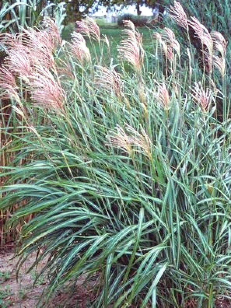 Best 25 ornamental grass landscape ideas on pinterest for Ornamental grasses landscape design ideas