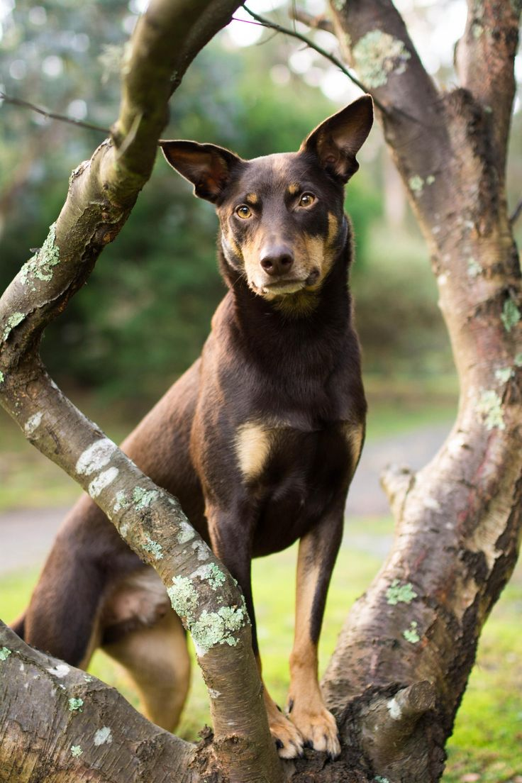 Rupert! - Rupert is a 2.5-year-old, red and tan, Australian Kelpie. I adopted him from the shelter in January of 2012. He's the most loyal, trustworthy, and intelligent dog!