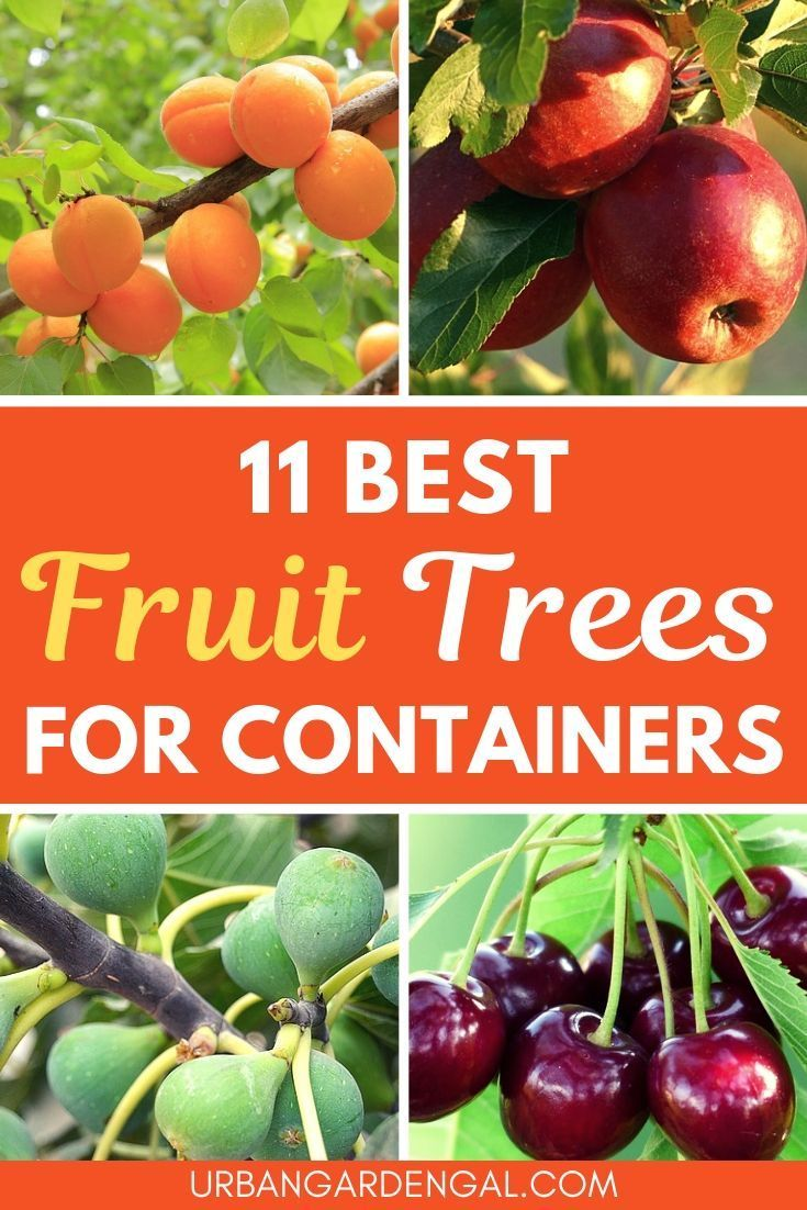 11 Best Fruit Trees For Containers Potted Fruit Trees Growing Fruit Trees Dwarf Fruit Trees