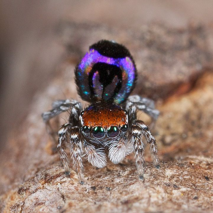 Incredible Shots of the Exotic Peacock Spider - My Modern Metropolis