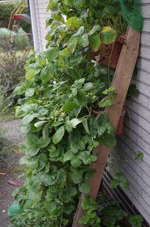 Mr. Greens Welt: Jeden Tag eine Schale Erdbeeren!