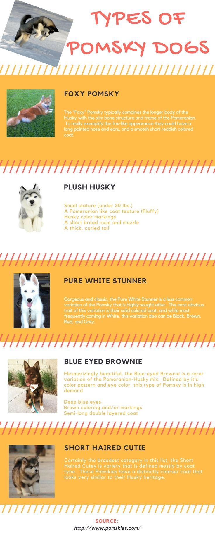 Types of #Pomsky dogs You are looking for! Pomsky Dog looks different every time they born. Every time a Pomsky Dog is born, they are having a special different type of uniqueness, even if they are the same breed. This makes a difference from the different type of #dog breeds http://www.pomskies.com/