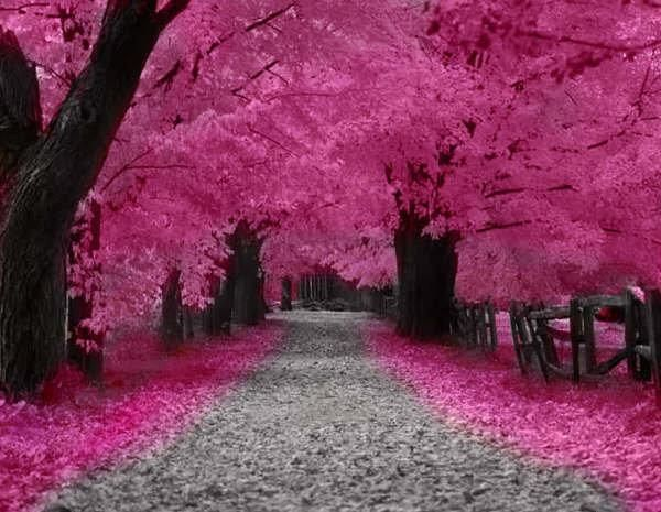 BREATHTAKING! We are surrounded by so much natural beauty!Cherries Blossoms, Little Girls, Pink Trees, Autumn, Cherries Trees, Colors, Beautiful, Blossoms Trees, Places