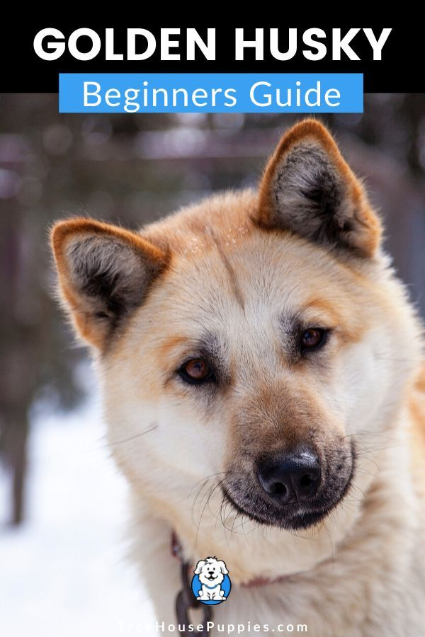 Beginners Guide To Husky Golden Retriever Mix Goberians In 2020