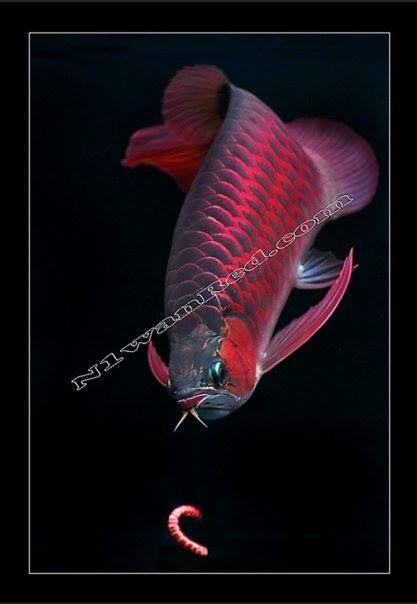 Arowana, Arwana, Dragonfish, Siluk, N1wanRed. N1Red, aro, chilired. bloodred, super red, n1wan