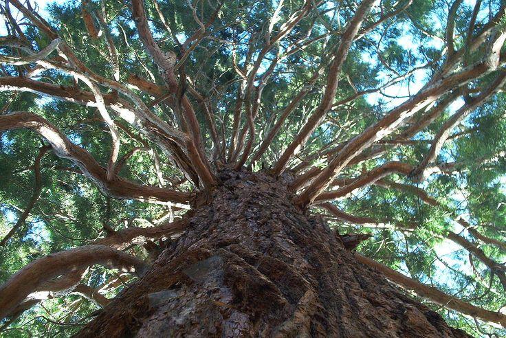 Lao Tse: Los árboles nos enseñan a estar en el mundo  Cuenta la leyenda que Lao-Tse peregrinaba con sus discípulos y un buen día los viajeros llegaron a un bosque que acababan de talar los leñadores. Tan solo quedaba sobre la tierra vacía un árbol enorme. Era tan grande que diez mil personas podían sentarse a su sombra. Cuando preguntaron por qué habían respetado este árbol magnífico les respondieron que sus ramas estaban llenas de nudos y su madera ni siquiera servía para hacer leña porque…