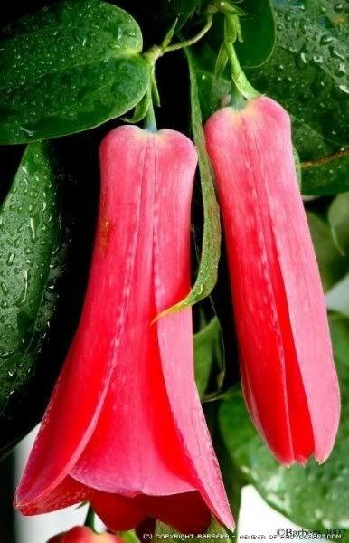 el hermoso copihue...flor nacional de Chile