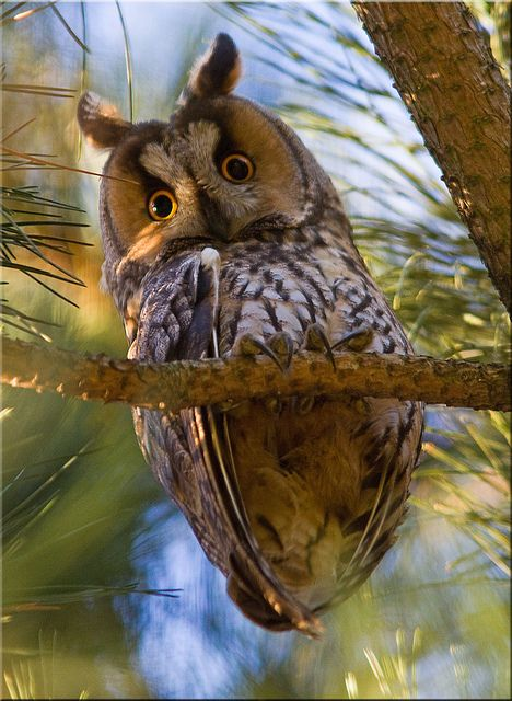 Long-eared owl [Explored] by Patrick Berden on Flickr   <3