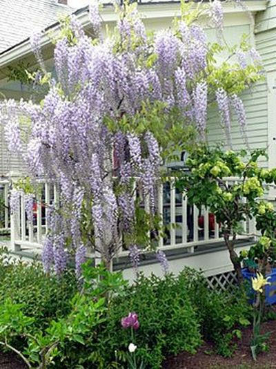 How To Prune Wisteria: Gardeneru0027s Supply