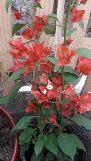 Las 25 mejores ideas sobre flor de bugambilia en - Fotos de buganvillas ...