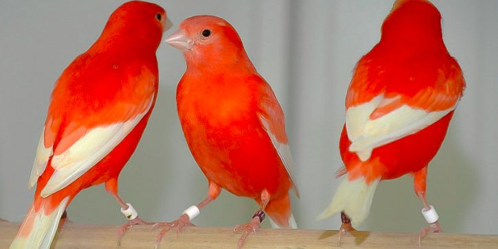 Mengenal Seputar Burung Kenari Holland Lengkap Dengan Gambar Burung Kenari Kenari Burung Holland Kenari