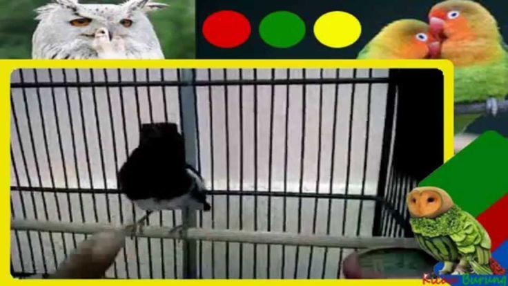 Suara burung Kacer Juara Jinak gacor fuul