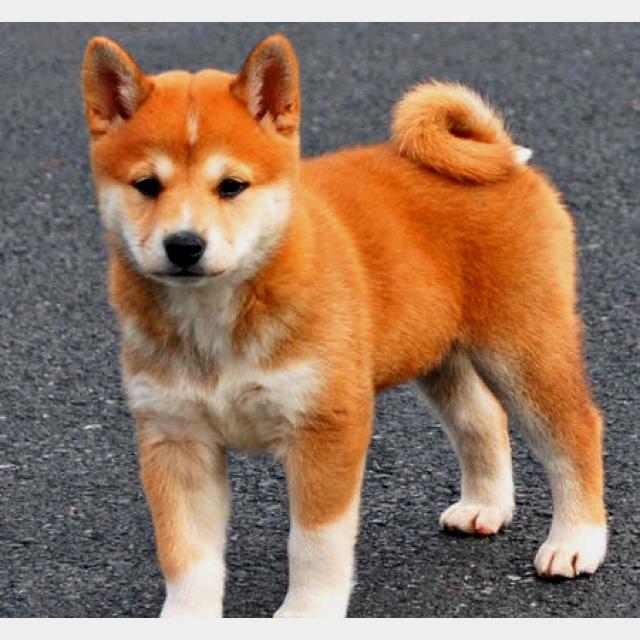 Lana   Adopted Dog   Unionville, PA   Finnish Spitz ...  Finnish Spitz Lab Mix