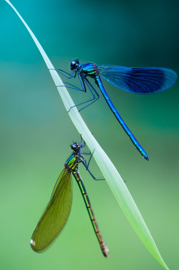 Dragonfly by Jesper Madsen on 500px (actually damselflies but still lovely)