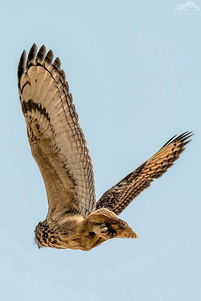 Wings of Glory - Indian Eagle Owl
