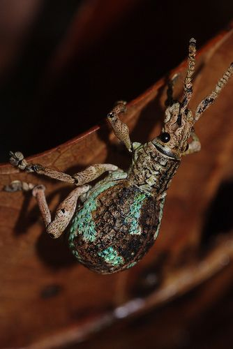 Broad nosed weevil