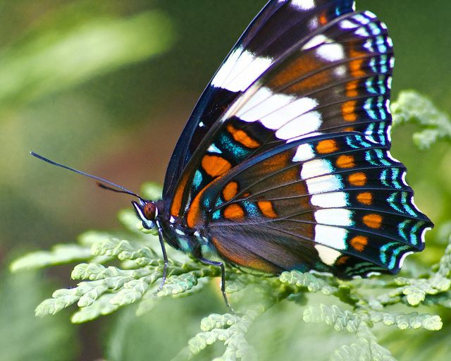 Canadian Blue, Orange, White, Black and Brown Butterfly | Flickr - Photo Sharing!