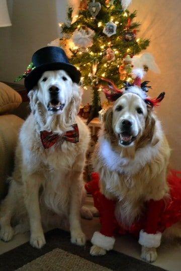 Christmas Golden Retrievers