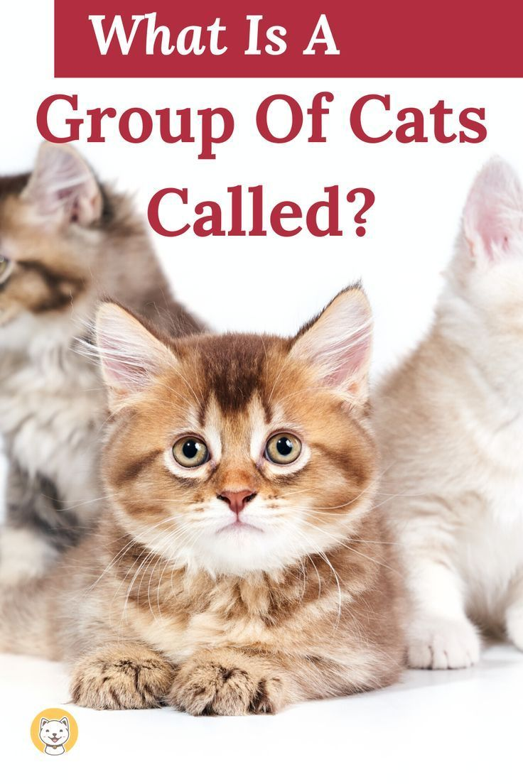 What Is A Group Of Cats Called Interesting Facts Kitty Cats