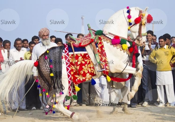 Marwari horse from Christine Slawik