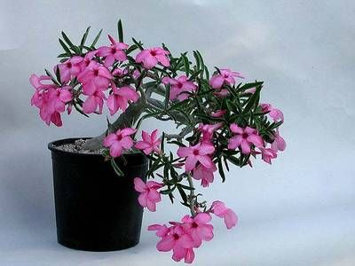 rose valentina wiki