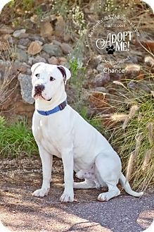 Chandler, AZ - American Bulldog/American Bulldog Mix. Meet CHANCE, a dog for adoption. http://www.adoptapet.com/pet/18033259-chandler-arizona-american-bulldog-mix