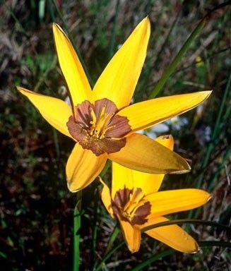 Endangered Spiloxene canaliculata