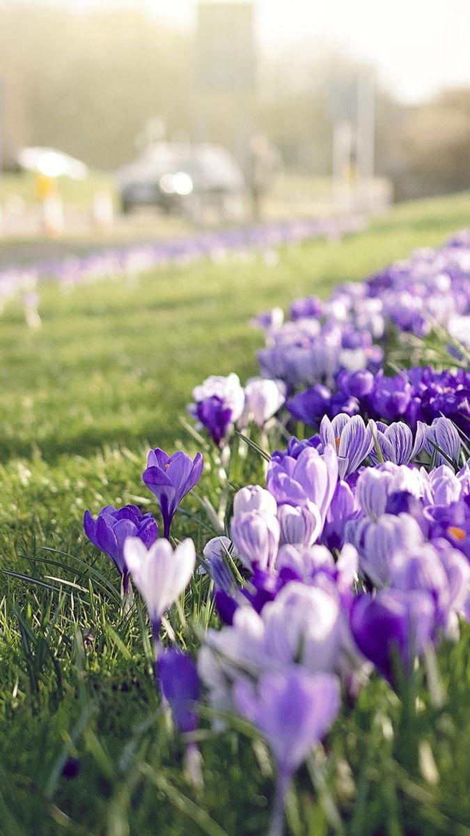 Saffron-Flowers-Grass-Focus-iPhone-Wallpaper
