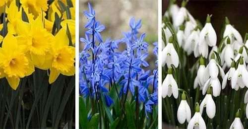Nic nie zwiastuje nadejście wiosny jak zakwitniecie wieloletnich kwiatów. Pewnie każdy z Was jest zadowolony, kiedy Wasz jesienny trud sadzenia kwiatów przynosi efekt w postaci ich zakwitnięcia wiosną. #oznaki #wiosenne #kwiaty #kolorowe #kolory #dekoracje #rośliny #wiosna #ogród