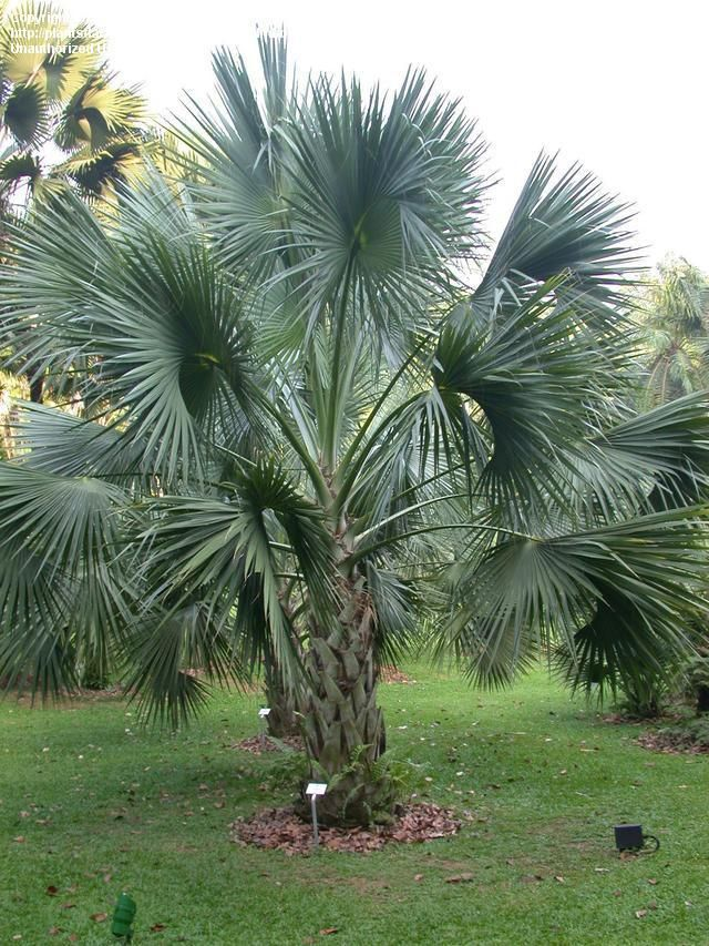 Sabal Mexicana Sabal Mexicana Is A Species Of Palm Tree
