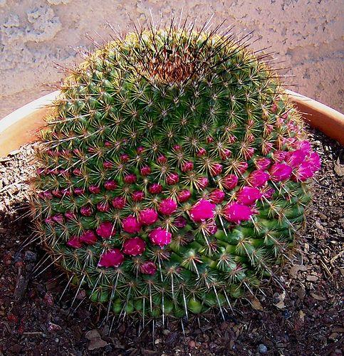 """Fractal spiral, Arizona Cactus, USA  //  """"les matemàtiques s'invente o es descobreixen?"""" ací tens, tros de lluç!"""