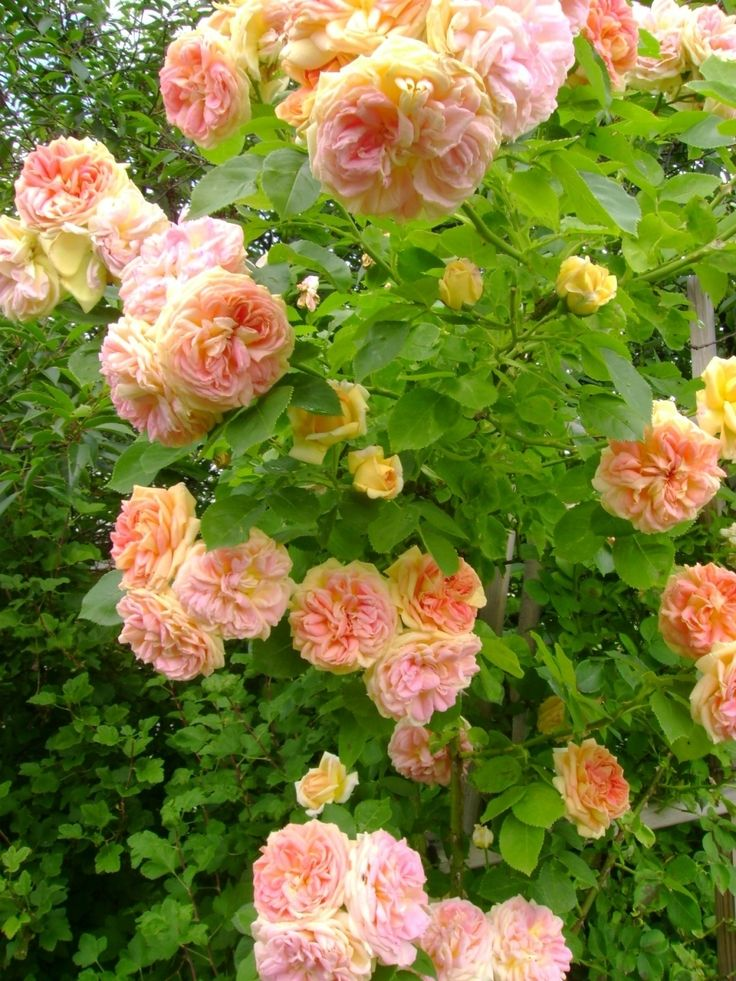 Min första blir min favorit - Alchymist. En engångsblommande busk/klätterros. Klarar vintern bra hos mig och är ca 2.5 m hög. Blommorna ändrar färg efter ...