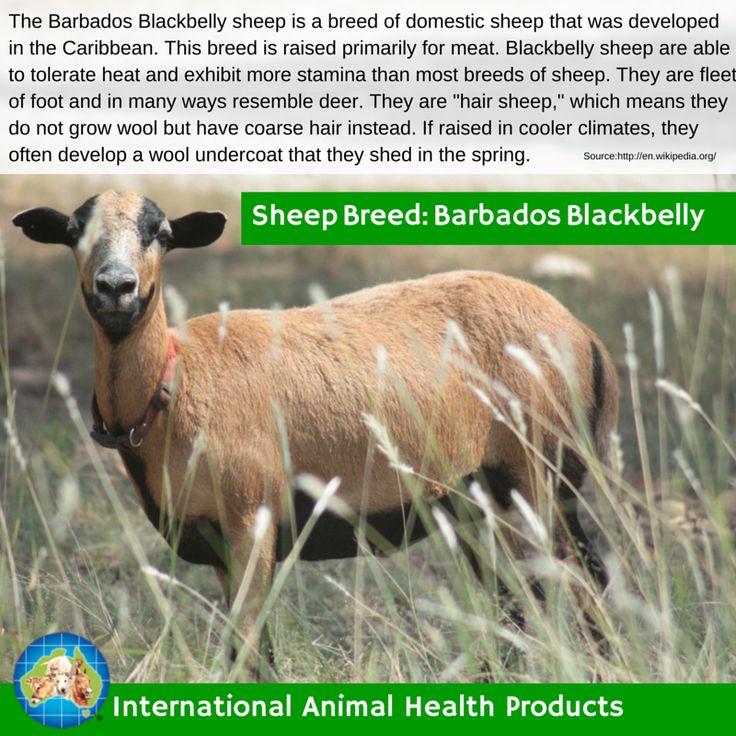 #barbadosblackbellysheep #barbados #blackbelly #barbadosblackbelly #sheep #ram #ewe #lamb #sheepbreed #breed #facts #green #iah #iahp #internationalanimalhealth #poultry #animal #facts #breeds #livamol #protexin