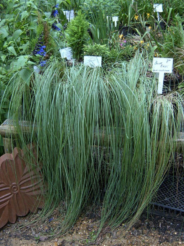 9 best garden grass little bluestem images on pinterest for Hardy grasses for the garden