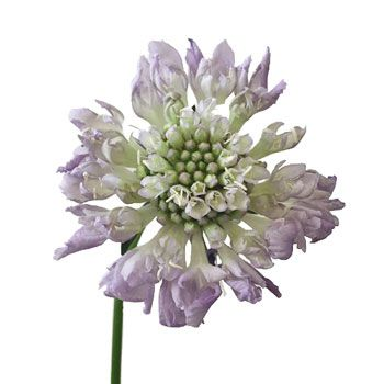 FiftyFlowers.com - Lavender Blush Scabiosa Flower 50 stems for $109.99
