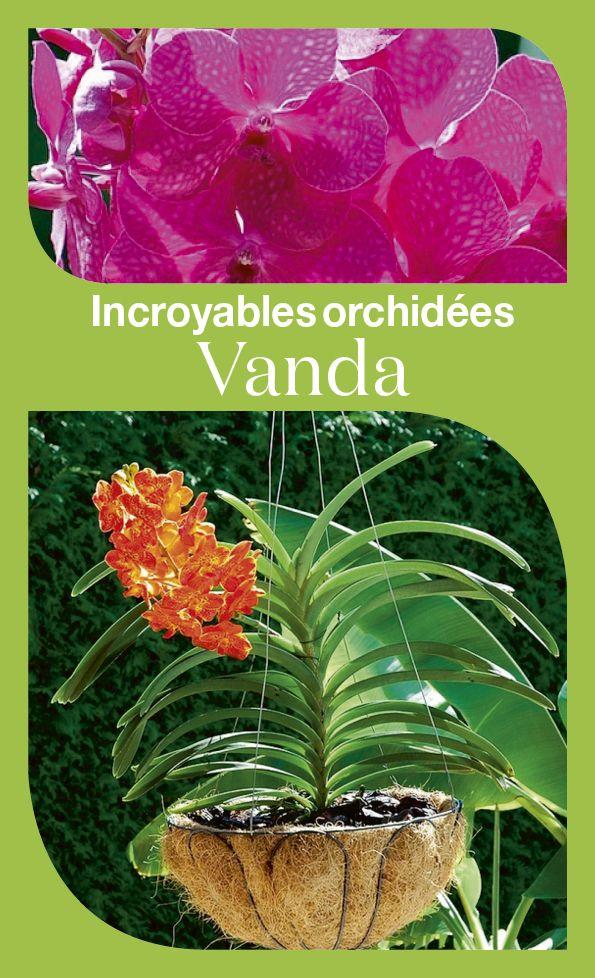 Comment cultiver et faire fleurir à nouveau vos orchidées Vanda.