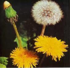 Flower Wine Dandelion. Vino de flores de diente de león