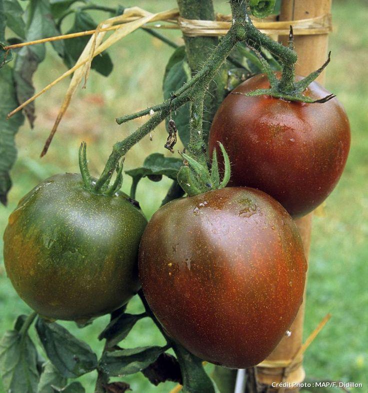 Les 48 meilleures images du tableau tomates sur pinterest jardin potager l gumes et plantes - Comment planter des tomates ...