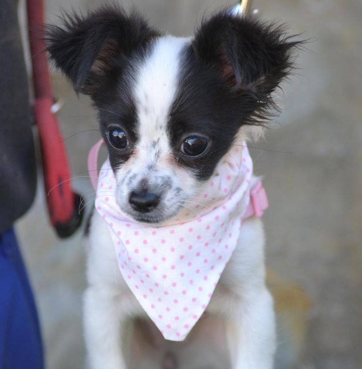 Hund - Welpe, Chihuahua (Mischling, Hündin, 3-4 Monate) Spanien